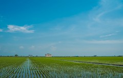 Paddy Fields (elenaleong) Tags: sekinchan ricegrowing ricefields paddyfields agriculture elenaleong malaysiavillage selangor