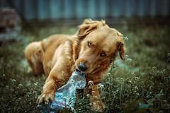 (•:*´¨`*:•.☆Diℓeyℓα ☆•:*´¨`*:•) Tags: mydog dog portrait play dof 85mm18 socute look animal animaleyes goldenretriever doglove