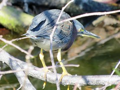 Butorides virescens --  Green Heron 6427 (Tangled Bank) Tags: wakodahatchee wild nature natural palm beach county florida marsh wetland preserve park butorides virescens green heron 6427 bird