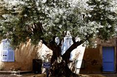 Frejus (dervonderwaterkant) Tags: cotedazur france city trees baum altstadt oliven olivenbaum