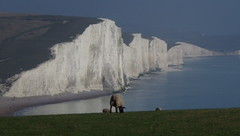 """Sneak Peek Because of Easter: My Seven (""""Lost"""") Sisters (catchesthelight) Tags: eastsussexengland sheep lambs spring pastoral scenic landscape uktravel bliss thesevensisters whitecliffs chalk englishchannel countrywalk"""