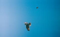 2335217_2335217-R1-011-4 (JMENA48) Tags: hawk bird sky blue california wildlife fuji fujifilm xtra xtra400