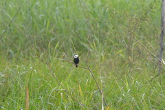 DSC_0163 (ptitmaxguyane) Tags: jaguar zoo bagne iles du salut capucin singe oiseau marais de kaw prison héron cocoï martin pecheur amerique sud buse hurubus hoazin huppé cabiaie