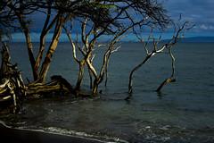 DRIFTWOOD 03 (paulosabado) Tags: maui hawaii lahaina driftwood tree
