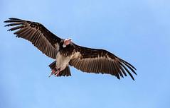 Vautour à tête blanche (G. Regisser Photographie) Tags: volerie des aigles kintzheim canon 5d mark iii 70 200 f28 is ii alsace plumes