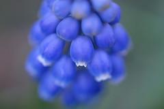 Grape Hyacinth (pallab seth) Tags: grapehyacinth muscari muscarineglectum macro dof spring flower barking park england london signofspring bokeh nature garden samsung60mmf28macroedoisssalens samsungnx1 springgarden