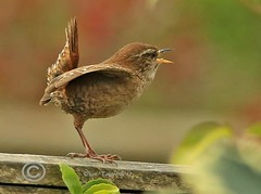 Wren 4 (Olive Taylor. Thank you for your visit.) Tags: wren birds beaks feathers nature northumberland northeastengland