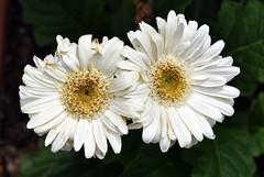 La dynamique du couple (Pensive glance) Tags: gerbera flower fleur plant plante