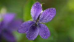 perles de violette (jacquescornet44) Tags: fleur flower nature violette viola flore rosée gouttelettes