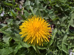 WP_20170325_10_04_25_Pro (vale 83) Tags: dandelion microsoft lumia 550 friends macrodreams wpphoto wearejuxt beautifulexpression thebestyellow autofocus
