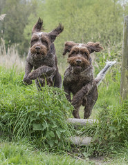 Jumping for Joy (Darren Cordingley) Tags: dogs hund chien spinone mansbestfriend nikond800 nikon 70200mm f28ed