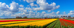 Tulpen aus Amsterdam (jwfoto1973) Tags: tulip tulpen tulipfield tulips tulpenfeld niederlande nederland netherland noordwijkerhout nikon natur nature blumen flowers frühling springtime wolken clouds sky