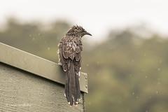 Little Wattlebird D75_6664.jpg (Mobile Lynn) Tags: honeyeater wild birds littlewattlebird nature anthochaerachrysoptera bird fauna wildlife gipsypoint victoria australia au