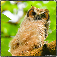 Owlet branching after a night with heavy rain (EXPLORED Apr 21, #172), (RKop) Tags: greathornedowl ohio cincinnati raphaelkopanphotography d500 200500mmf56edvrzoom explore