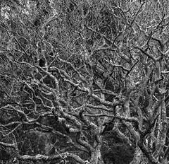 Tangled 2 (burnsmeisterj) Tags: olympus omd em1 tree branches tangled mono monochrome blackandwhite