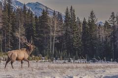 Vintage elk (Tracey Rennie - catching up) Tags: elk snow banff banffnationalpark mountains alberta wapiti