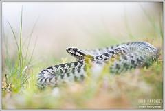Vipera berus (Thor Hakonsen) Tags: viperaberus europeanadder commonadder viper slange hoggorm huggorm viperidae