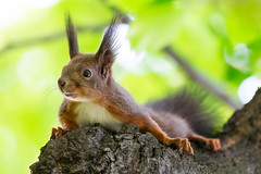 The Squirrel (Nemanja Zotovic PHOTOGRAPHY) Tags: greaterphotographers squirrel animal outdoor canon eos1d4 ef70200f28lisiiusm