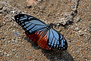 Papilio agestor - the Tawny Mime
