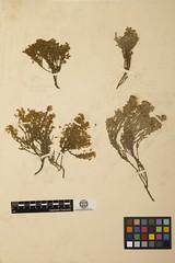 Anglų lietuvių žodynas. Žodis hudsonia ericoides reiškia <li>hudsonia ericoides</li> lietuviškai.