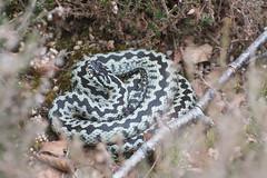 Male adder post-slough (gillian.pullinger) Tags: adder snake reptile viperaberus animal wildlife nature surrey chatleyheath