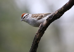 Chipping Sparrow (Diane Marshman) Tags: chippingsparrow chipping sparrow gray underneath belly chest breast brown wings tail feathers rusty head cap dark face eye line white adult spring northeast pa pennsylvania nature wildlife mature small bird