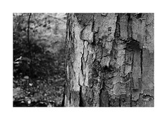 1. In the woods (kotmariusz) Tags: trees monochrome blackandwhite wood bw nature detail canon 1100d efs24mm 24mm stm blackandwhitephotography poland polska las drzewo monochromatic monochrom