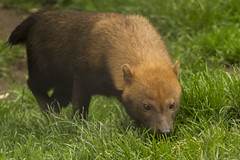 (_jypictures) Tags: bush dog bushdog animalphotography animals animal canon7d canon canonphotography chesterzoo chester zoo zoophotography wildlife wildlifephotography nature naturephotography jyphotography jypictures photography pictures