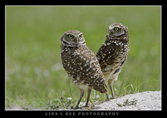 """Which Way Did It Go"" (Lisa L Kee Photography) Tags: lisalkee lisalkeephotography canon canon7d canon500mmf45 500mm florida nature wildlife owl burrowingowl"