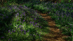 Where the light falls (TanzPanorama) Tags: nature bluebell flower england kent beckenham tanzpanorama sonya7ii a7ii fe2470mmf4zaoss sel2470z spring 4seasons season flickr landscape path hyacinth woods woodland forest wildflowers