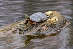 Painted turtle, waiting for Spring (wandering tattler) Tags: turtle reptile river herp chrysemys painted wildlife 2017 vertebratepaintedturtle