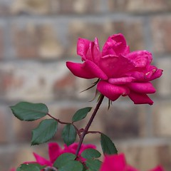 IMG_8262 (fortytwotim) Tags: pink flower oklahoma photochallenge photochallenge2017