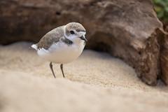 Snowy plover (Andrew_Leggett) Tags: charadriusnivosus snowyplover wader shorebird tiny bird beach sand plover log spring