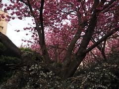 P4220144 (starimmak) Tags: cherry blossom uw