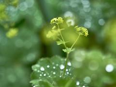 Fifty Shades of Green (W_von_S) Tags: green grün shadesofgreen schattierung grüntöne bokeh makro macro natur nature wvons werner outdoor sony frauenmantel