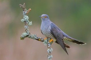 Cuckoo (Explored 02-05-17)