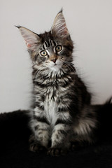 Baby Elvira. (icantdance) Tags: elvira mainecoon cat