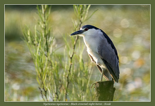 Black-crowned night-heron #3