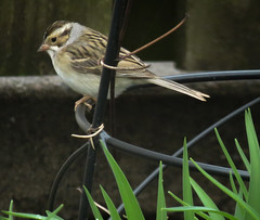 Clay-colored Sparrow (mahar15) Tags: birds outdoors wildlife sparrow nature spizellapallida claycoloredsparrow