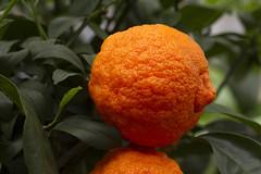 Citrus. Lemon.  016 (George Ino) Tags: copyright georgeino georgeinohotmailcom thenetherlandshollandnederland utrecht citroen lemon orange oranges oranje fruit vitamine macro makro plant citrus oranjecitroen orangelemon नीबू
