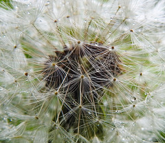 Dew drops on a Dandelion Close-up (uk_dreamer) Tags: dandelion flower seed delicate nature natur closeup detail dew drops bokeh dof depthoffield macro