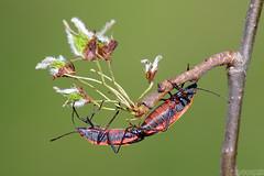 Spring Ritual (Vie Lipowski) Tags: boxelderbug boiseatrivittata americanelmseeds insect bug bugporn matingbug seed weed spring wildlife nature macro