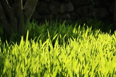 Green (brianfarrell) Tags: wild flower green nature floral garden spring natural blossom outdoor korea bloom southkorea jeju cheju