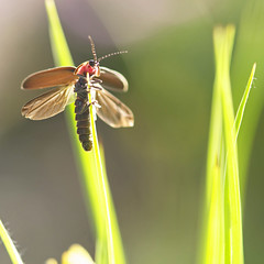 Near Flight Experience (Lala Lands) Tags: dof bokeh flight goldenhour springgardens afternoonlight soldierbeetle nikkor105mmf28 takeoffsandlandings nikond300s