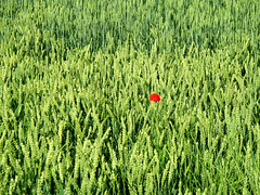 Lonely Poppy in a Wheat Field (Batikart) Tags: red plant flower green rot nature field grass june rural canon germany landscape geotagged o