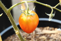 Tomatoes (thelox714) Tags: lemon corn backyard gardening eggplant tomatoes pomegranate carrots artichoke urbangardening bluejadecorn