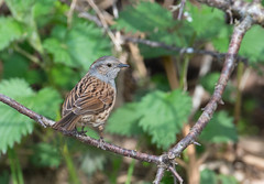 Dunnock, Prunella modularis. Spring. UK (PANDOOZY PHOTOS) Tags: uk bird birds garden spring dunnock modularis sparrow hedge prunella