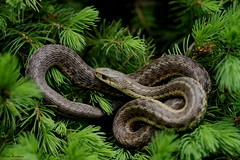 Garter Snake (Diane Marshman) Tags: brown green garter closeup bush snake tan cream evergreen shrub