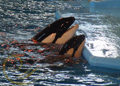 Takara and Sakari2 (GypsySkye7) Tags: sanantonio believe orca seaworld shamu takara killerwhale captivity sakari