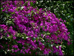 Heights Posted Fence Pink Flowers (oldusephemera) Tags: city blue original light shadow red portrait people favorite woman dog pet house man flower detail cute art nature face leaves weather animal yellow closeup contrast cat fence pose garden dark bench photo funny colorful child purple artistic candid best deli emotional darling bnw viral